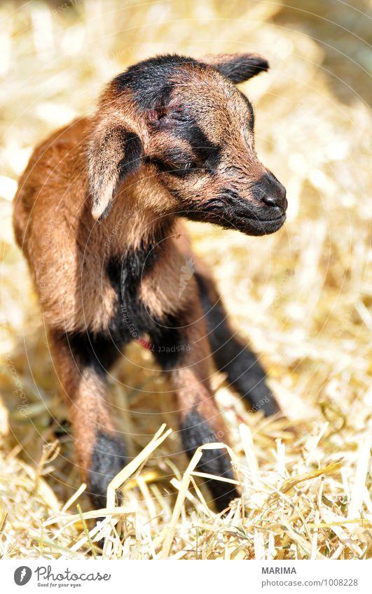 newborn goat in the hay Natur Tier schwarz Tierjunges braun Wachstum stehen Europa Fell Zoo Säugetier Zicklein Blut beige Maul Nutztier