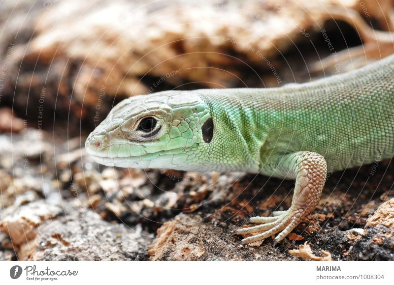 little young European green lizard Natur grün Tier Tierjunges Holz braun Pfote beige Maul Schnauze Reptil Nachkommen Echsen Echte Eidechsen Zoologie Kork