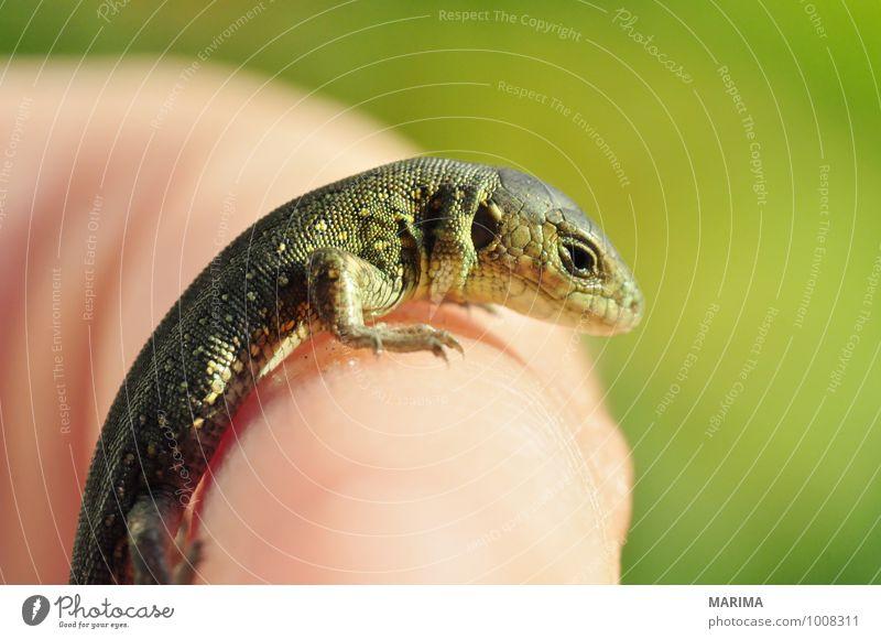 portrait of a baby sand lizard Hand Natur Tier Pfote Tierjunges braun grün beige brown Echsen saurian Lacertilia Echte Eidechsen Lizard Europa Fuß foot green