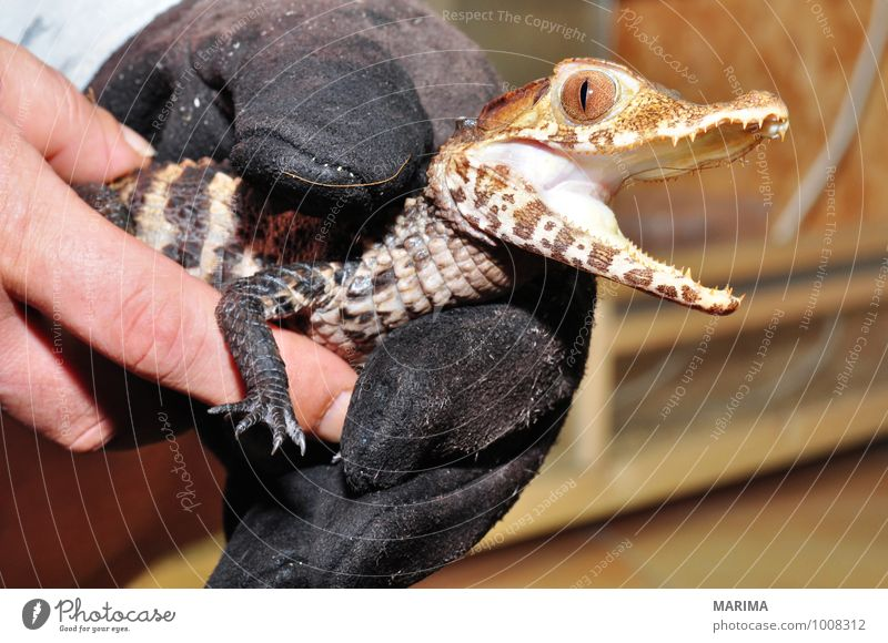 portrait of a baby crocodile Frau Erwachsene Hand Natur Tier Pfote Tierjunges braun Alligator beige brown Echsen saurian Lacertilia Echte Eidechsen Lizard Fuß