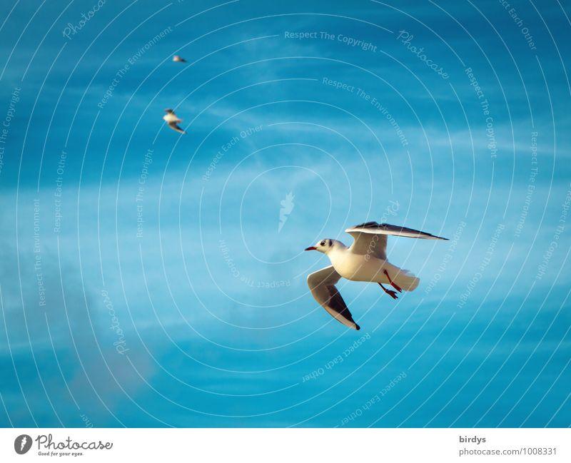 Flugschau Himmel Möwe Möwenvögel 3 Tier fliegen ästhetisch elegant positiv schön blau weiß Bewegung Leichtigkeit Natur Vogel Flügel Farbfoto mehrfarbig