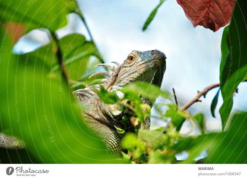 Portrait of a green iguana Erholung Natur Pflanze Tier Blatt Pfote braun grün Ast Zweig branches ausruhen take a rest beige sheet foliage brown Echsen saurian