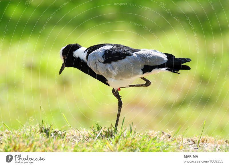 Portrait of a Blacksmith lapwing Natur grün Tier schwarz Wiese Gras grau Vogel stehen Feder Schnabel Pfosten Zoologie Hayfield Tierpflege