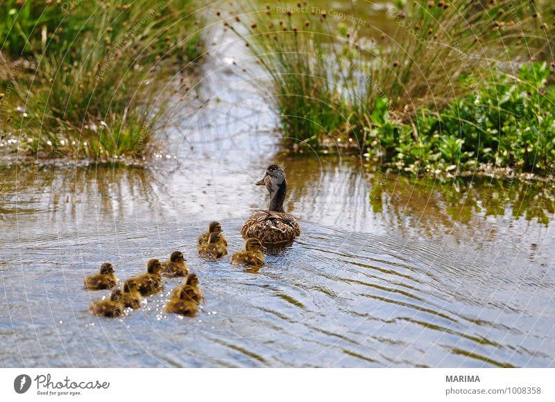 mallard ducks, mother with her chicks Natur grün Wasser Tier Tierjunges Wiese Gras See braun Vogel Feder viele Halm Teich Schnabel Entenvögel