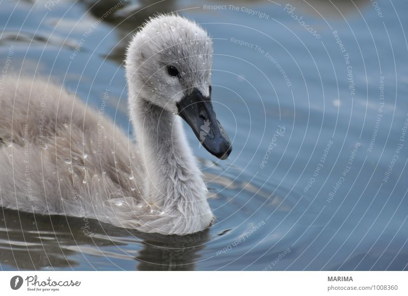 Portrait of a baby swan Natur Tier Wasser Teich See Vogel Schwan Tierjunges grau outside Flügel wing Feder plumage feather gray Höckerschwan mute swan