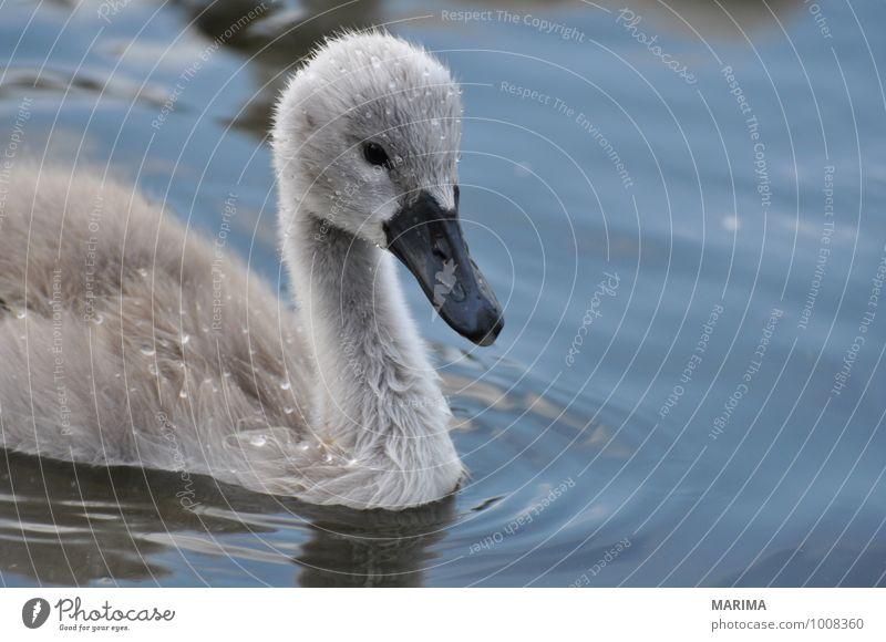 Portrait of a baby swan Natur Wasser Tier Tierjunges grau See Vogel Feder Teich Schnabel Schwan Nachkommen Zoologie Höckerschwan Tierpflege