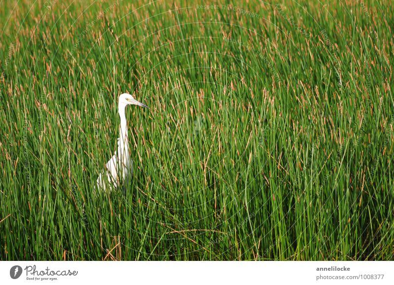 Lauerstellung Natur Pflanze grün weiß Sommer Tier Wiese Gras Frühling Vogel Wildtier stehen warten beobachten dünn Schilfrohr