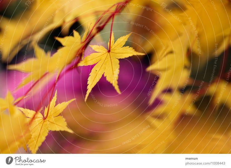warme Farben Baum Blatt gelb Herbst natürlich rosa gold Zweig herbstlich Ahornblatt Herbstfärbung Ahornzweig