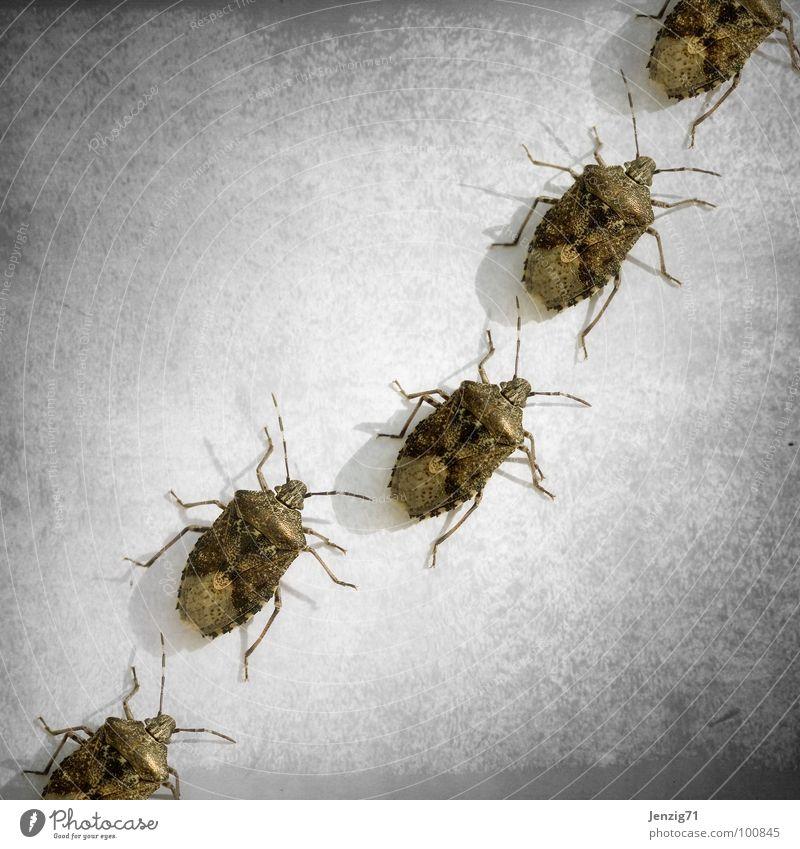 Alle einmal quer durch Bild. Wanze Baumwanze Insekt krabbeln klein winzig Schiffsbug laufen insect 6 Beine Schädlinge Käfer