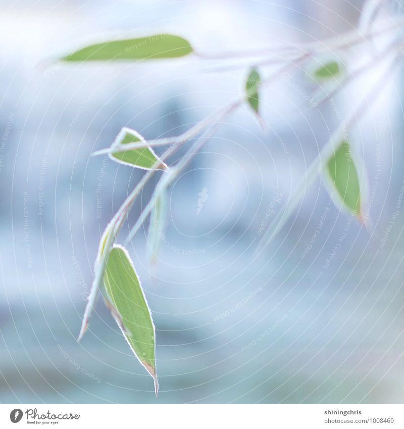 frozen bamboo Natur blau Pflanze grün Tier Winter kalt Eis Wetter Frost gefroren Grünpflanze Bambus