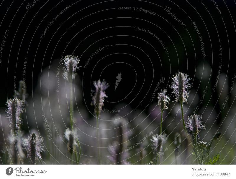Spitzwegerich Wegerichgewächse Heilpflanzen Heilpraktiker Gesundheit Aucubin dunkel schwarz weiß Wiese Blumenwiese Sommer heiß blutstillend Gerbstoffe