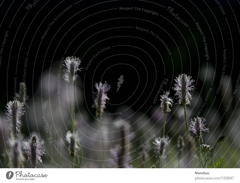 Spitzwegerich weiß Sommer schwarz dunkel Wiese hell Gesundheit heiß Blumenwiese Heilpflanzen Heilpraktiker Spitzwegerich Wegerichgewächse