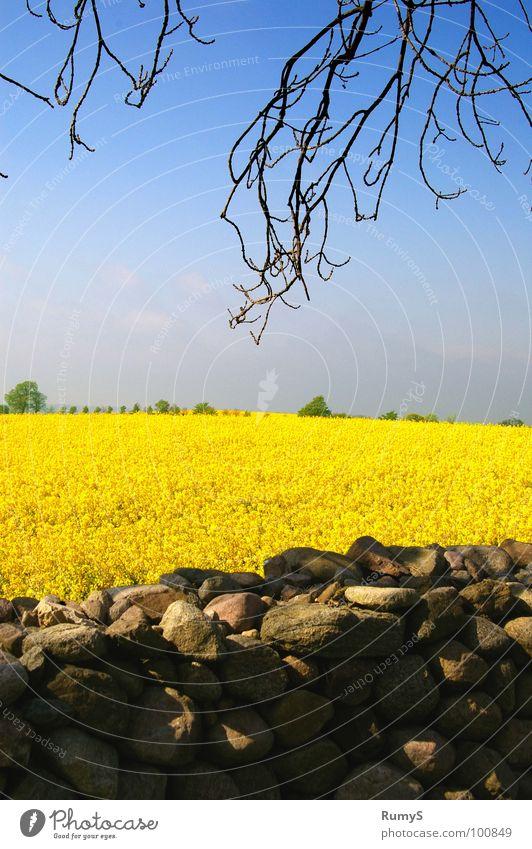 Meck-Pomm im Frühling Himmel gelb Stein Ast Raps Mecklenburg-Vorpommern Steinmauer