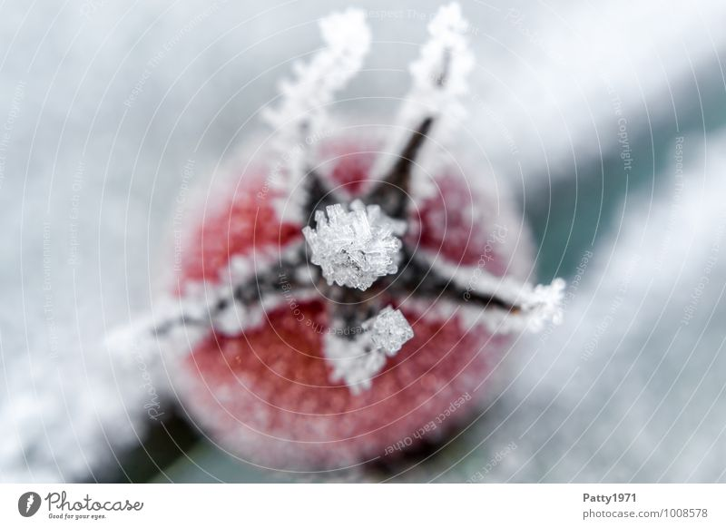 Tomate on ice weiß rot Winter kalt Lebensmittel Eis Frost Gemüse Nutzpflanze