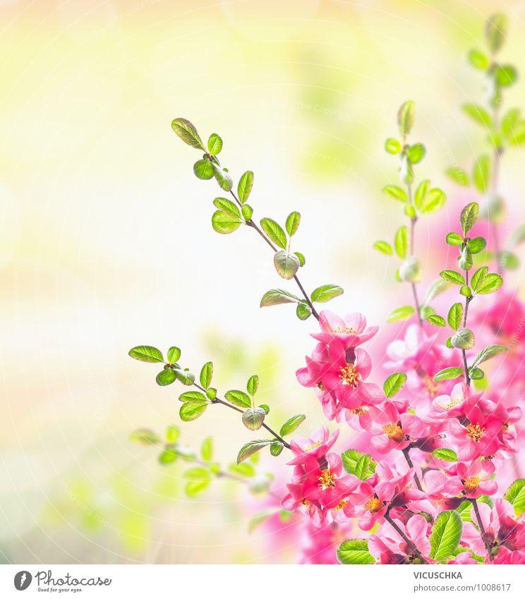 Pink blühende Strauch, Frühling Hintergrund Natur Pflanze Sommer Sonne Blume Frühling Blüte Hintergrundbild Garten rosa Park Design Schönes Wetter Duft Pollen verblüht