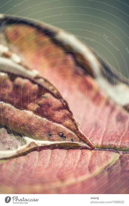 Zweisamkeit Natur Herbst Pflanze Blatt Grünpflanze einzigartig rot Herbstfärbung Herbstlaub herbstlich Hartriegel Hartriegelblatt Farbfoto mehrfarbig