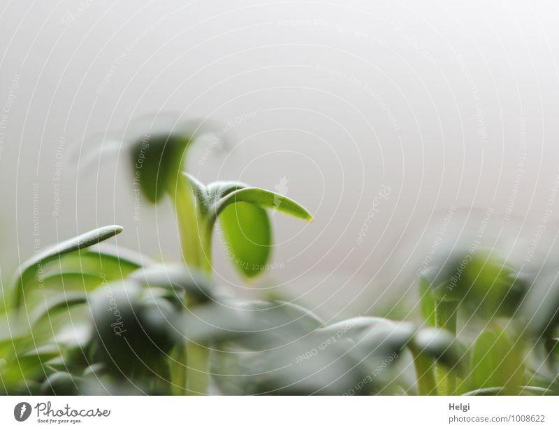 gesundes leckeres Grün... Lebensmittel Kräuter & Gewürze Kresse Ernährung Bioprodukte Vegetarische Ernährung Pflanze Blatt Grünpflanze Nutzpflanze Wachstum