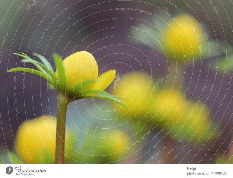 sonnengelb... Umwelt Natur Pflanze Frühling Blume Blatt Blüte Winterlinge Frühblüher Frühlingsblume Blütenknospen Stengel Garten Blühend stehen Wachstum