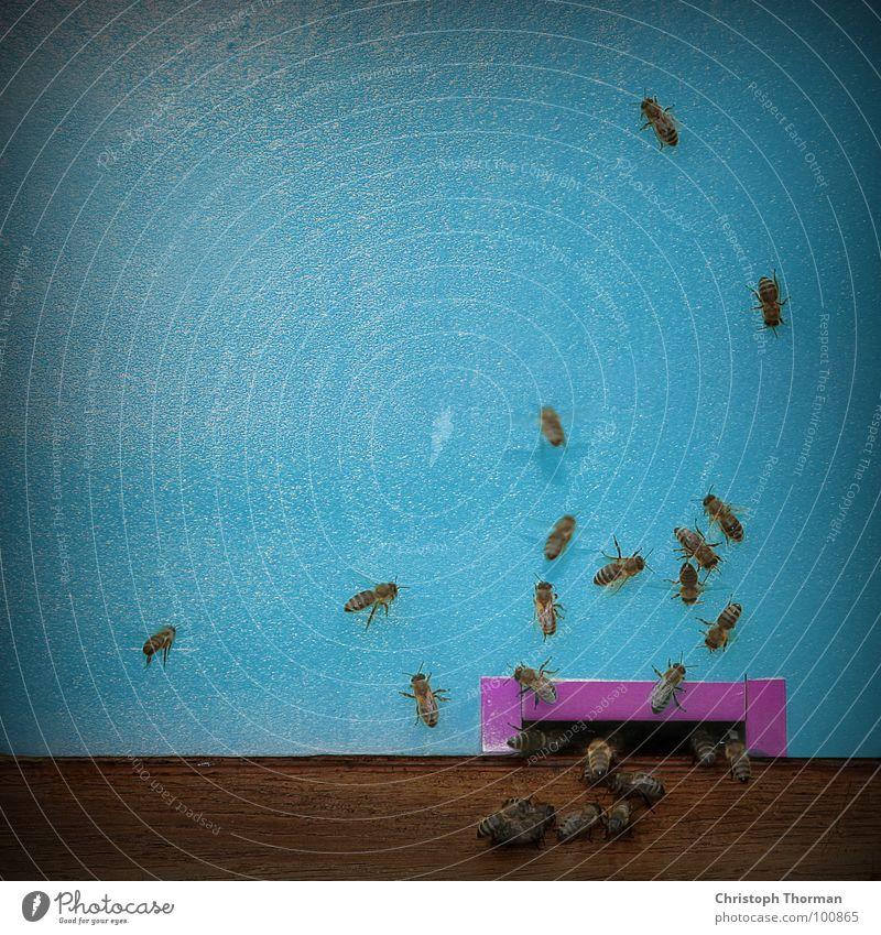 Photocase-Bienen blau Sommer Tier Holz braun fliegen Wohnung gefährlich Beginn bedrohlich Flügel Insekt Biene Tor Loch chaotisch