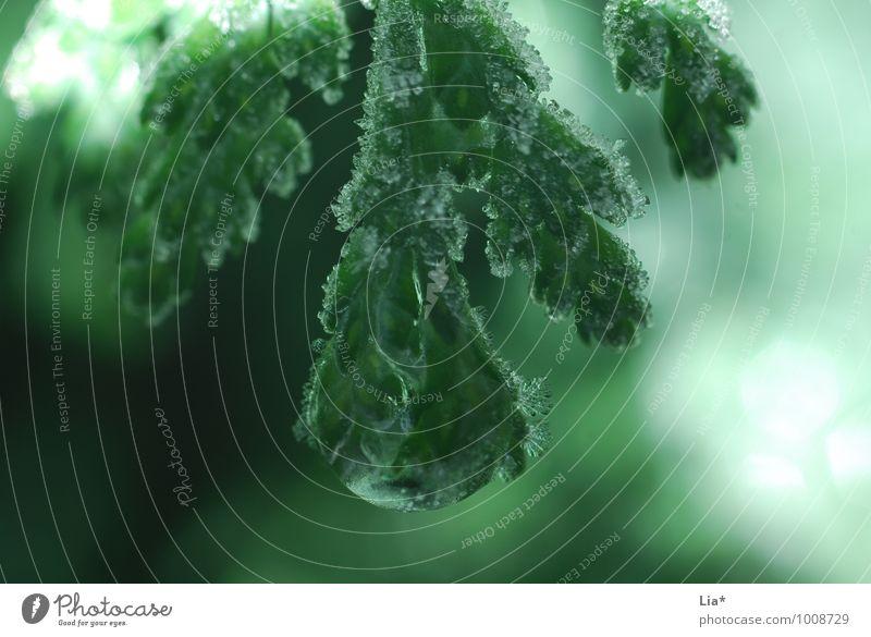 Kalt im Wald Natur Winter Baum Grünpflanze kalt grün Frost Eiskristall Tropfen gefroren Weihnachtsbaum Detailaufnahme Makroaufnahme Reflexion & Spiegelung