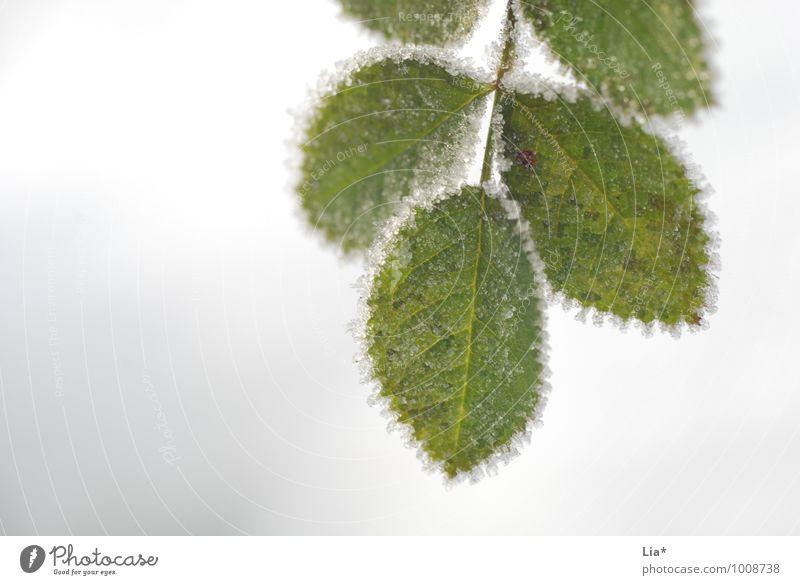 Frostige Blätter Blatt Winter kalt Eis Frost gefroren Grünpflanze