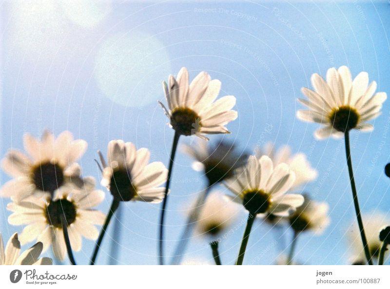 Flowerpower... Sonne Blume Wachstum Balkon Wiese Margerite Frühling Sommer schön luftig beweglich leicht Unbeschwertheit Garten Park blau Himmel Blauer Himmel