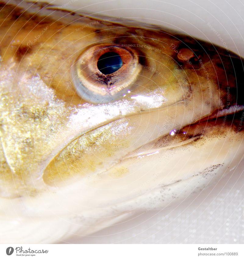 Saibling Auge glänzend Ernährung Fisch Kochen & Garen & Backen Ackerbau Maul gestaltbar