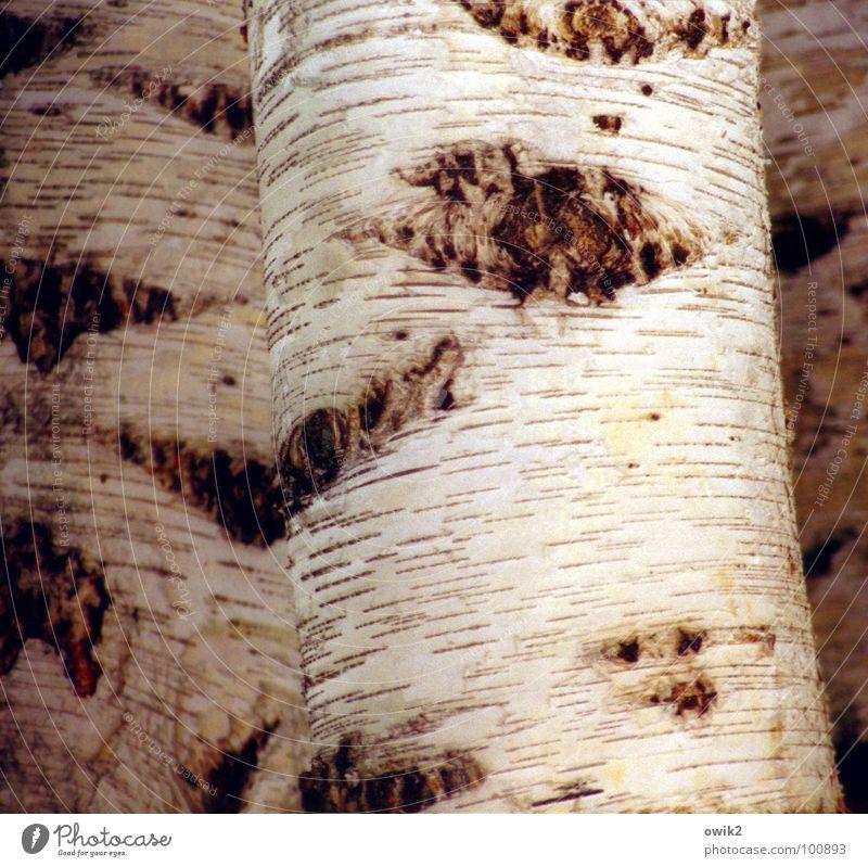 Schwedisches Nationalgewächs Natur schön weiß Baum hell Schweden Baumrinde Skandinavien Birke Nordeuropa Birkenrinde