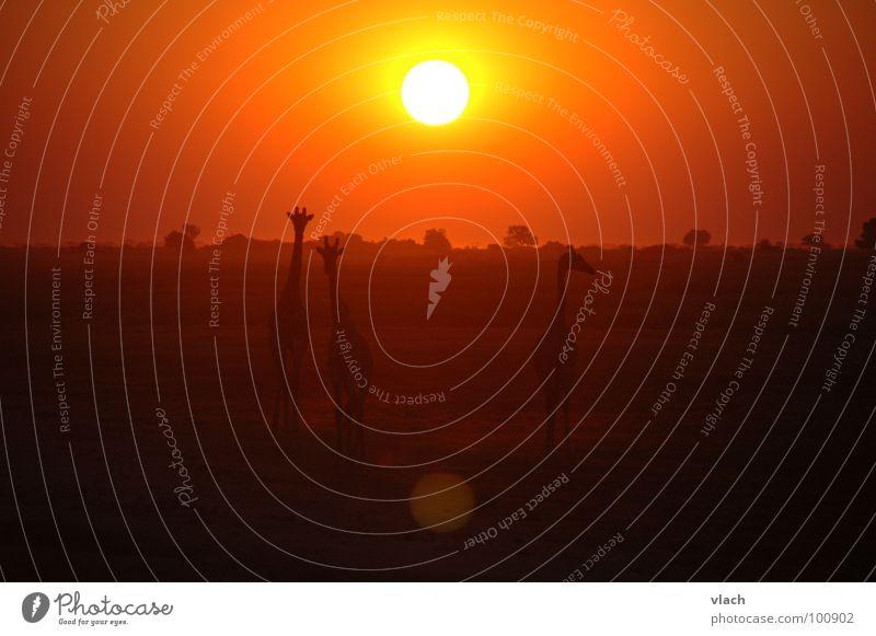 Afrika Sonnenuntergang Sonnenuntergang Sonne Tier Stimmung Afrika Wüste Giraffe