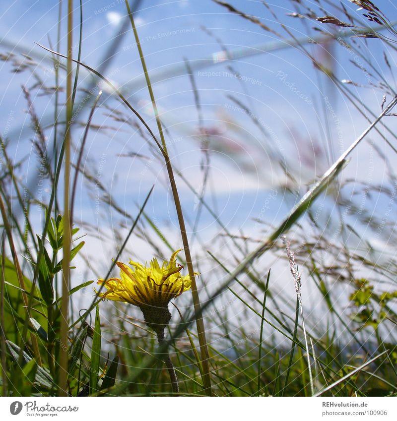 Wiesenschönheit Blume Löwenzahn Halm Gras Einsamkeit gelb Blumenwiese Sommer Wachstum Blüte grün Berge u. Gebirge Himmel Graffiti blau verstecken geheimnisvoll