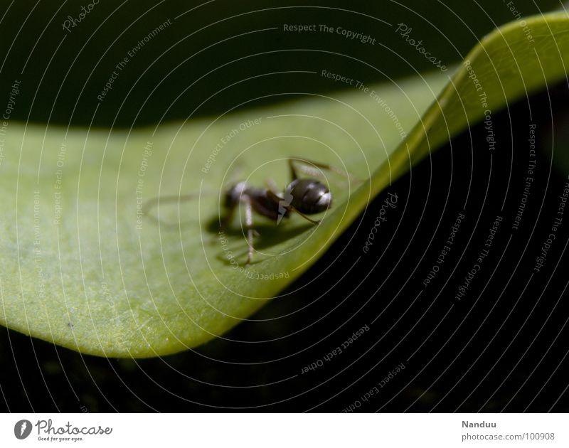 Ameisenarsch Natur grün Blatt schwarz Tier dunkel glänzend Hinterteil Insekt krabbeln