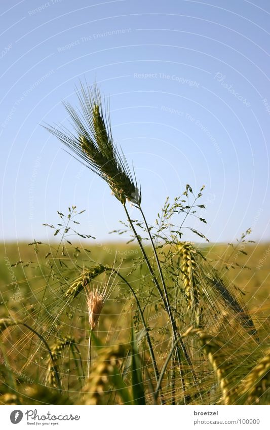 Ährensache Himmel blau Sommer Getreide Landwirtschaft Kornfeld Gerste Roggen