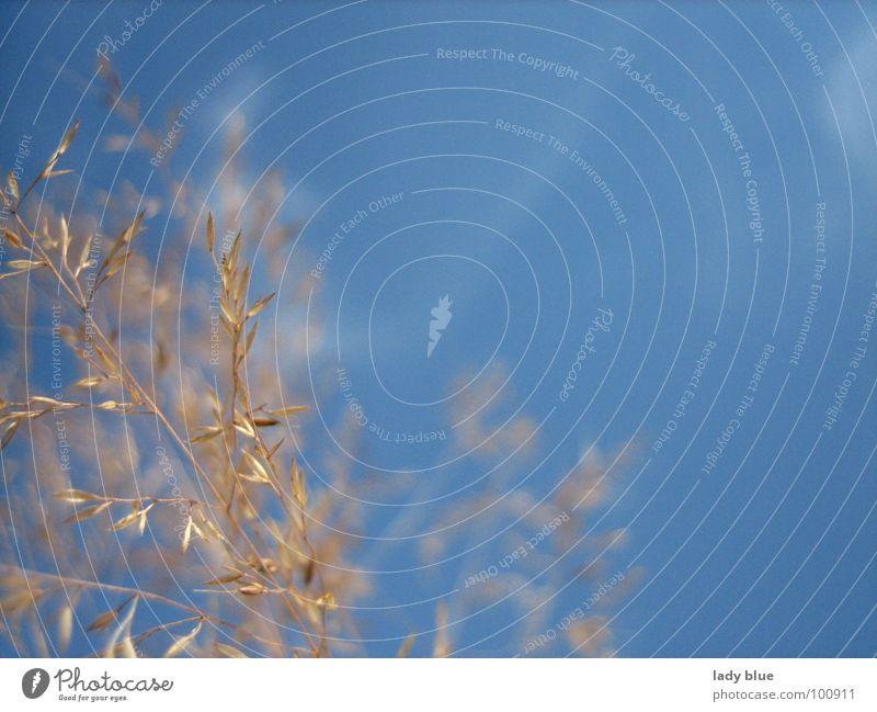 Sommertraum Physik hell-blau Ferien & Urlaub & Reisen Weizen nah Sonnenbad Sonnenstrahlen Juli Freizeit & Hobby Luft braun hellbraun Erholung ruhig ruhen Himmel
