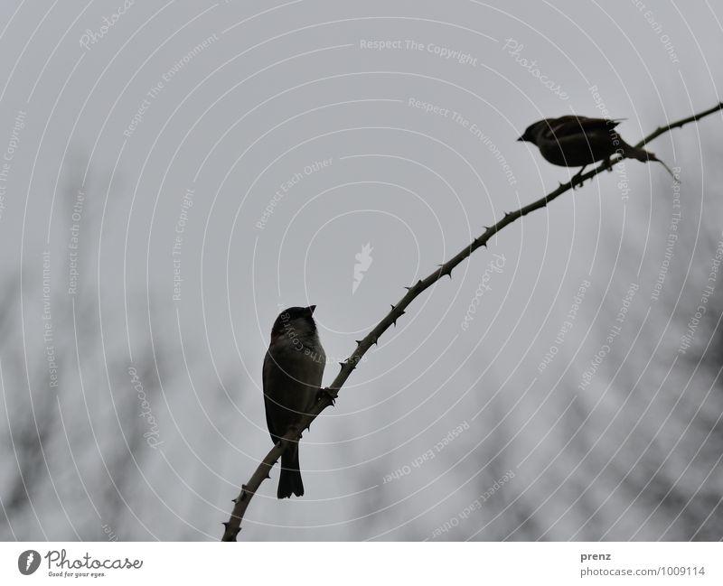 rechtwinklig Umwelt Natur Tier Winter schlechtes Wetter Wildtier Vogel 2 grau Spatz Zweig Dorn Bogen sitzen Farbfoto Außenaufnahme Menschenleer