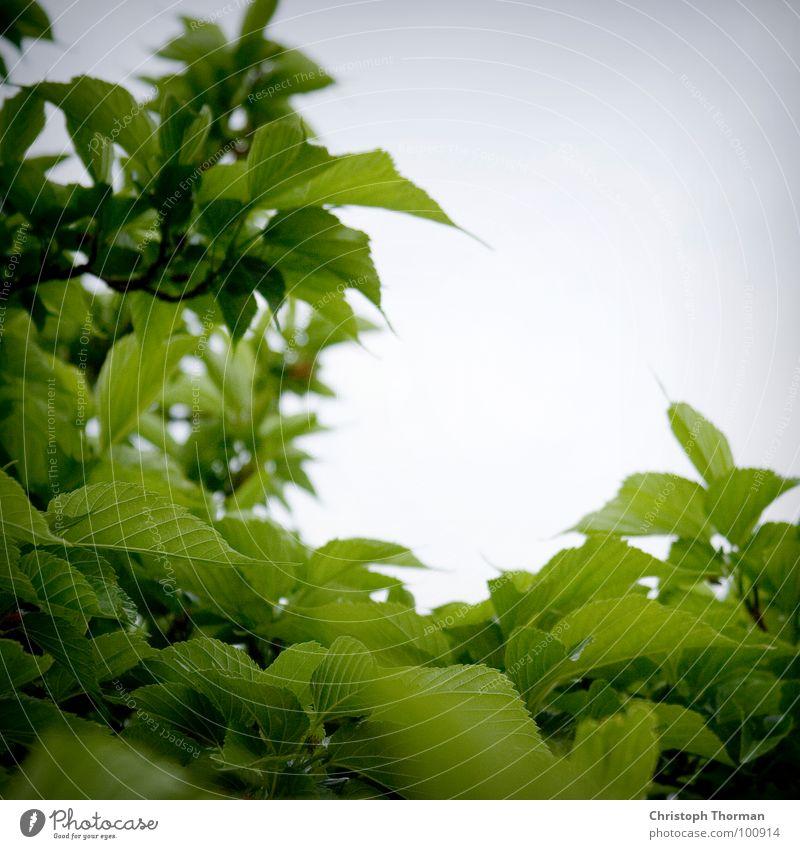 Blattwerk 1.0 mit Anti-Serien-Garantie Grünpflanze Baum Sträucher Botanik Pflanze Froschperspektive grün Rauschen Rascheln hell-blau grau Unwetter Regen