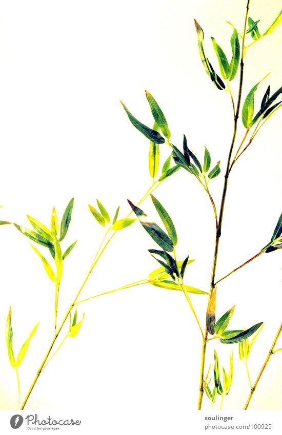 Bamboooooo Pflanze Überbelichtung grün Natur Japan Vignette Bambusrohr exotisch