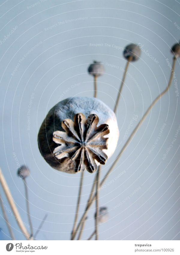 mohn I trocken Mohnkapsel Pflanze Blume rund getrocknet Samen Blumenstrauß Trockenblume Trauer Dekoration & Verzierung blau blue 1 fine Traurigkeit Natur Zweig