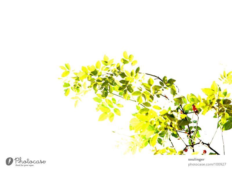Hagebutte Überbelichtung Pflanze grün rot gelb positiv strahlend Natur Vignette