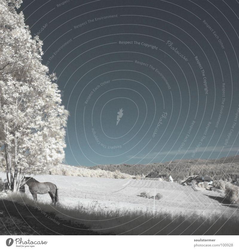 da steht ein Pferd... Infrarotaufnahme Wiese Baum außergewöhnlich Jubiläum Zaun Wolken Farbinfrarot weiß Holzmehl Gras Wand Dach schwarz grau Neue Welt