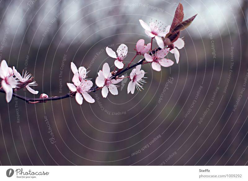 den Frühling herzaubern.. Natur Pflanze Blüte braun rosa Beginn Blühend Romantik neu Zweig Vorfreude Frühlingsgefühle Zweige u. Äste Kirschblüten Neuanfang