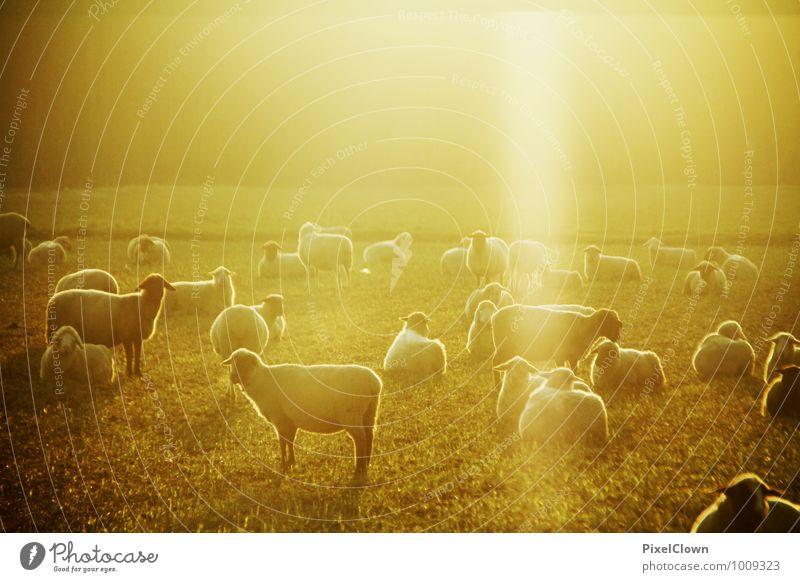Sonnentanz der Schafe elegant Stil Landwirtschaft Forstwirtschaft Natur Landschaft Schönes Wetter Feld Tier Haustier Nutztier Tiergruppe Fressen ästhetisch hell