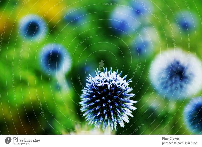 Blaue Kugelblumen Natur blau Pflanze schön Sommer Blume Freude Tier Gefühle Wiese Blüte Stil Glück Garten Freundschaft Park