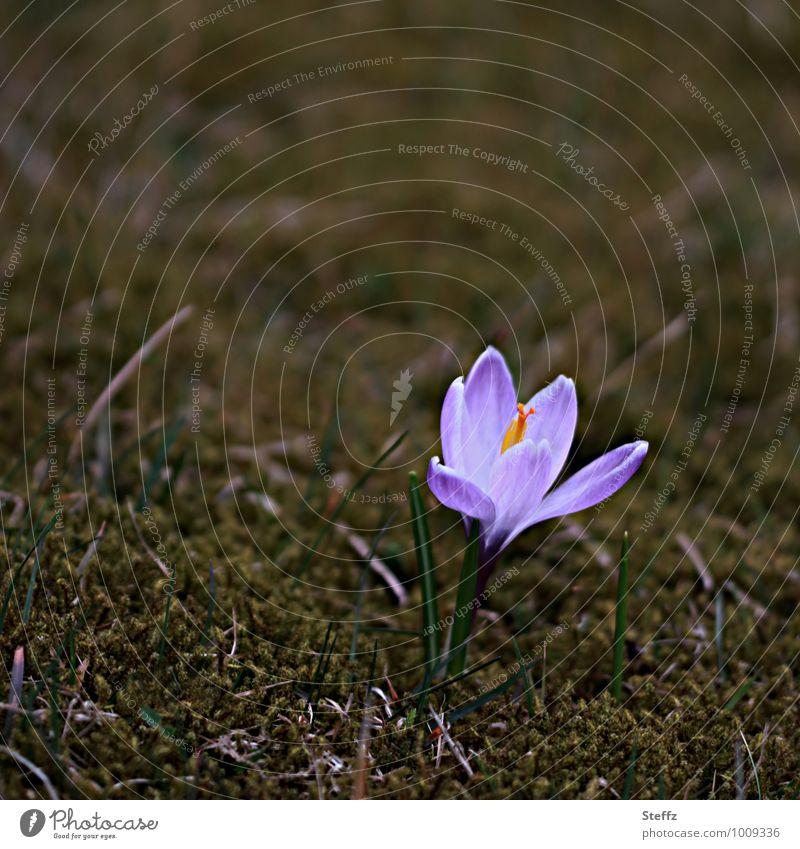Vorfreude Natur Pflanze Blume Frühling Beginn Blühend Zeichen neu violett Frühlingsgefühle Wildpflanze Krokusse März Frühlingsblume Frühblüher