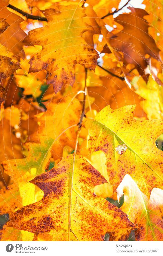 autumn foliage from a red oak Natur Pflanze Sonne Baum rot Blatt gelb Herbst Beleuchtung braun Fröhlichkeit Ast herbstlich Illumination Eiche