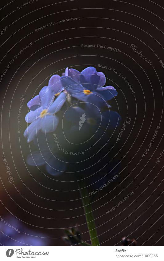 smoky blue Valentinstag Natur Sommer Pflanze Blume Wildpflanze Vergißmeinnicht Blühend blau schwarz Stimmung geheimnisvoll blauschwarz Vor dunklem Hintergrund