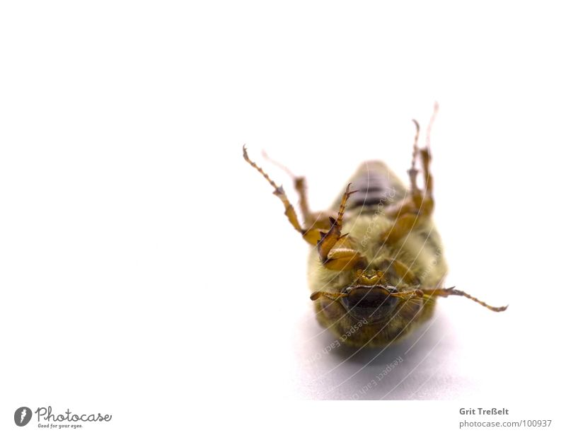 Käfer = umgefallen Insekt Wiese Halm grün Körperhaltung Blick Rasen