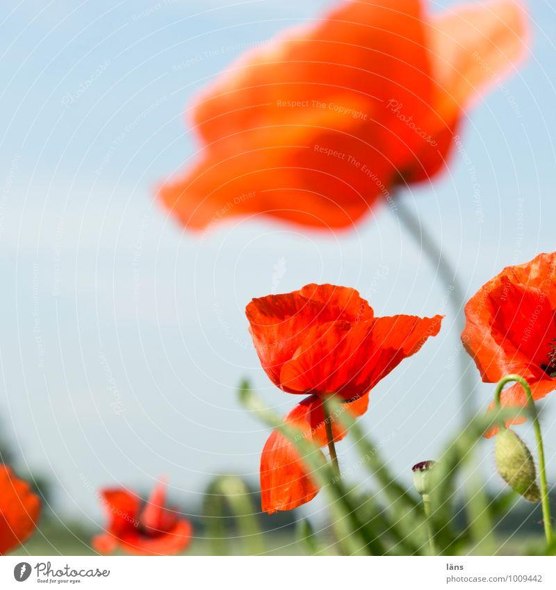 begleitgrün Natur Ferien & Urlaub & Reisen Pflanze schön Sommer Blume Umwelt Zusammensein Feld Wachstum Ausflug Blühend Schönes Wetter Mohn Sommerurlaub Expedition