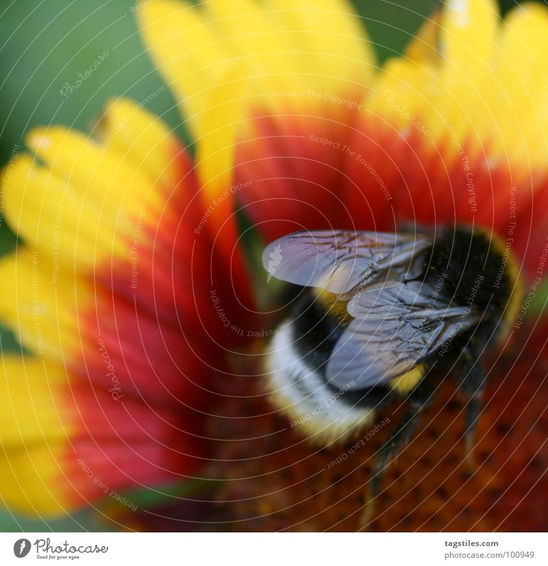 Feuerkelch II rot schwarz gelb Arbeit & Erwerbstätigkeit Brand fliegen Dienstleistungsgewerbe Sammlung Pollen Arbeiter Hummel fleißig Staubfäden Nektar Sammler