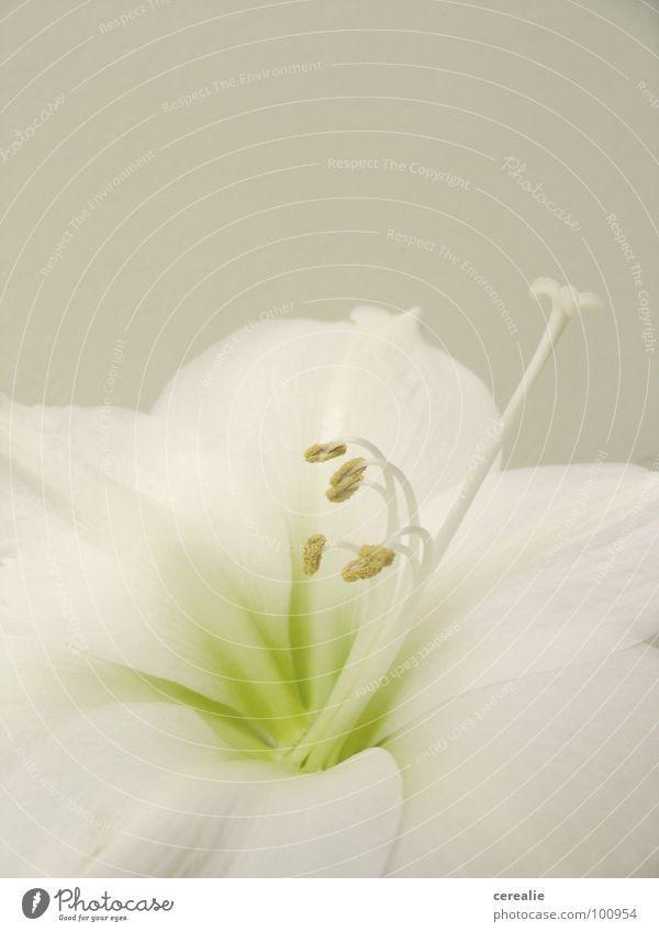 amaryllis Amaryllisgewächse Blume weiß Makroaufnahme beige Ton-in-Ton harmonisch Blüte Pflanze Blütenkelch Pastellton Nahaufnahme Stempel Samen hell Anmut