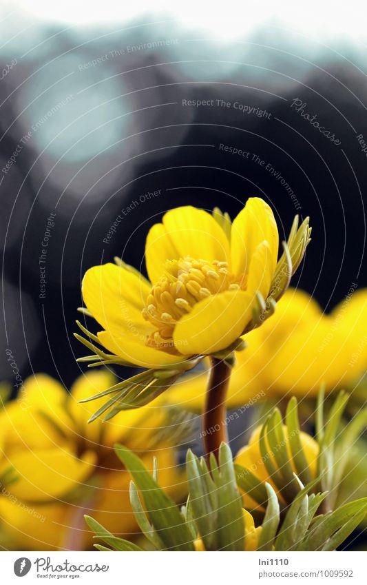 Winterling Natur Landschaft Pflanze Frühling Blume Blatt Blüte Wildpflanze Garten Park Wiese außergewöhnlich elegant fantastisch schön kalt natürlich blau braun